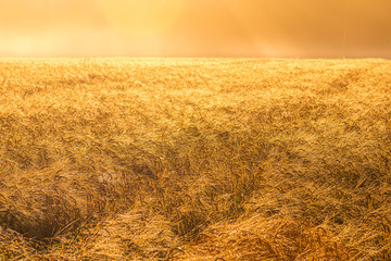 Sunrise in an agricultural field with golden ears of ripe rye covered with dew in the early morning. The glare of the sun is reflected in the drops.