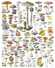 Fototapeta Mushroom and toadstool collection - vintage illustration from Adolphe Philippe Millot obraz