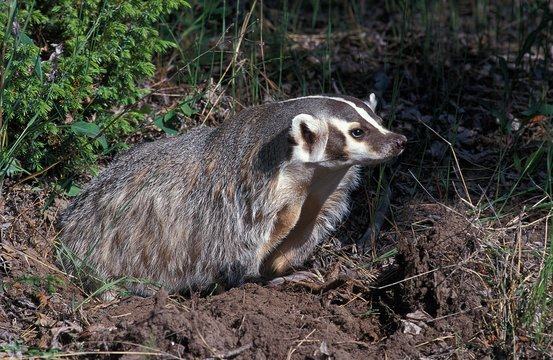 American Badger, taxidea taxus, Adult standing at Den Entrance, Canada