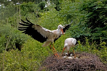 White Stork, ciconia ciconia, Pair with Chicks on Nest