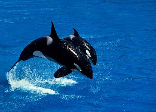 Killer Whale, orcinus orca, Female with Calf Breaching