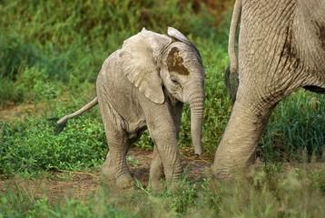 African Elephant, loxodonta africana, Calf following Mother, Masai Mara Park in Kenya Wall mural