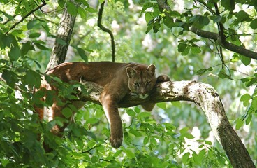 Cougar, puma concolor, Adult laying on Branch