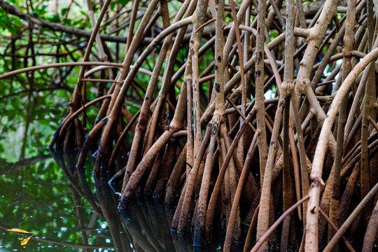 Racine de palétuviers, mangrove, Guadeloupe