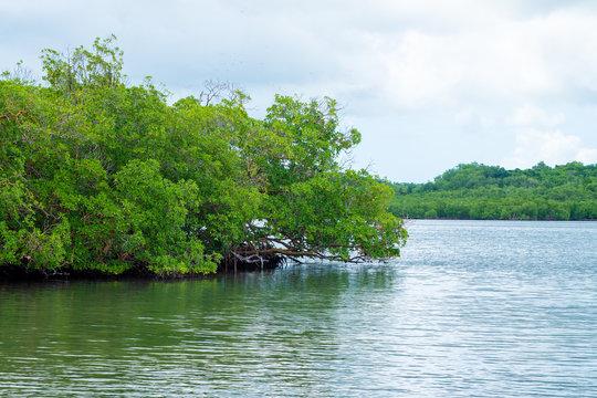 Palétuviers sur la mer, mangrove