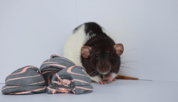 Decorative black and white rat sniffs and eats sweet marshmallows. On a white background.