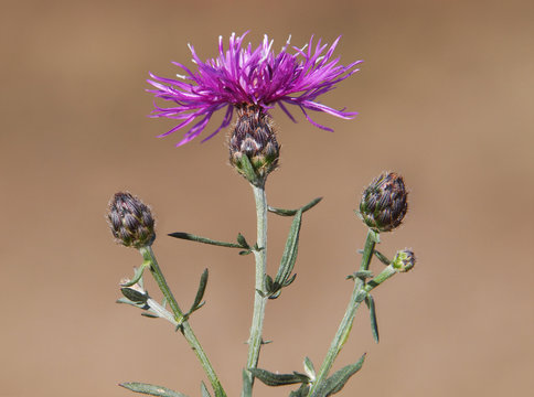 Spotted knapweed plant with flower and buds, Centaurea maculosa