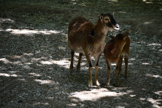 female sheep in a zoo with her baby