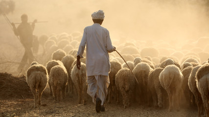 Shepard with a herd of sheep in the Thar Desert in Jaisalmer, India