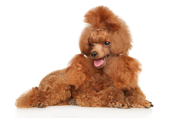 Wall Mural - Charming Red Toy Poodle