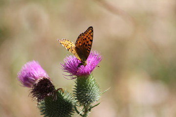 Insect on a thistle