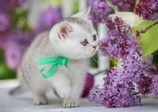 Little scottish kitten sits on a background of flowers