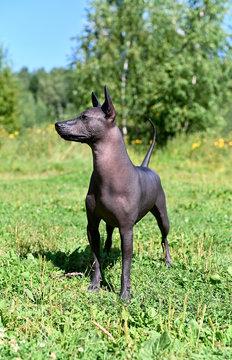 alert Xoloitzcuintle (Mexican Hairless Dog) standing on summer nature background