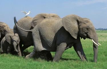 African Elephant, loxodonta africana, Herd walking, Masai Mara Park in Kenya Wall mural