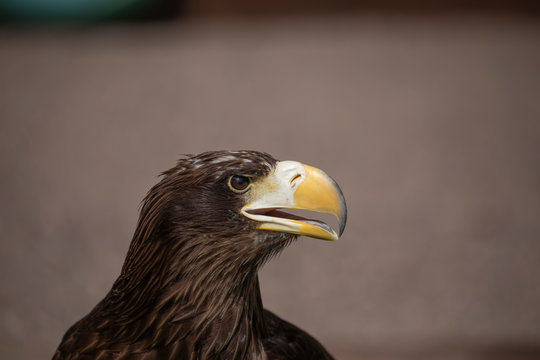 Stellar sea eagle, haliaeetus pelagicus, close up head detail/portrait with background.
