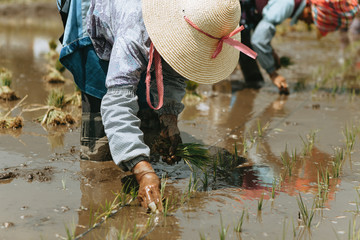 Planting rice in China