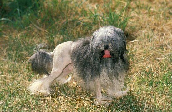 Lowchen or Little Lion Dog