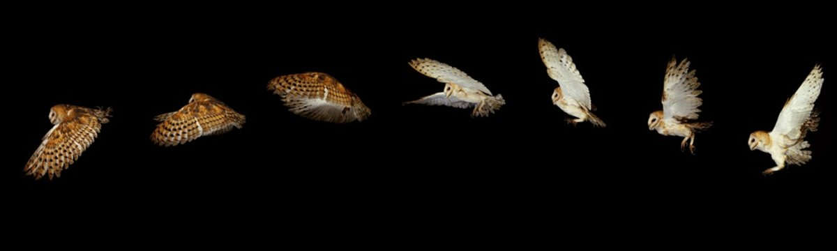 Barn Owl, tyto alba, Adult in Flight, Movement Sequence