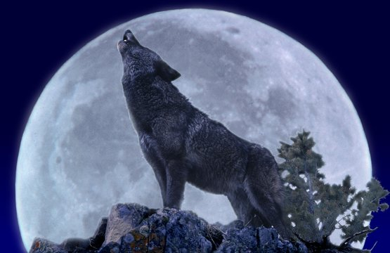 European Wolf, canis lupus, Adult Howling at the Moon
