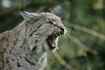 European Lynx, felis lynx, Adult Yawning, with Open Mouth