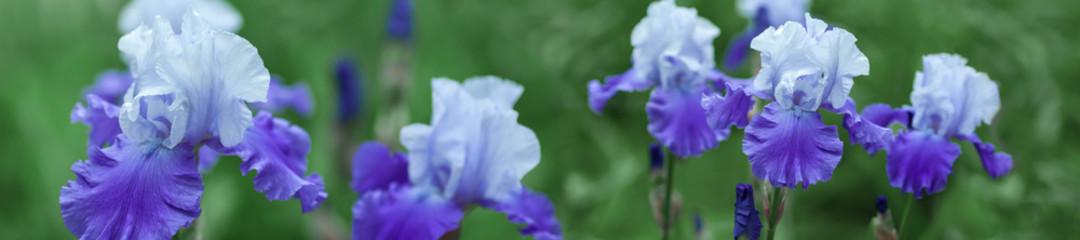 Panorama beautiful purple iris flowers grow.