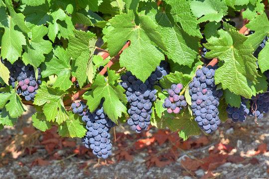 Grappes de raisins et vignes dans l'Aube