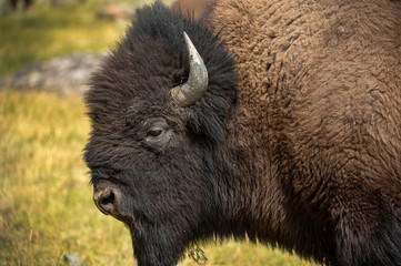 Fototapeta Grumpy Bison during the rut