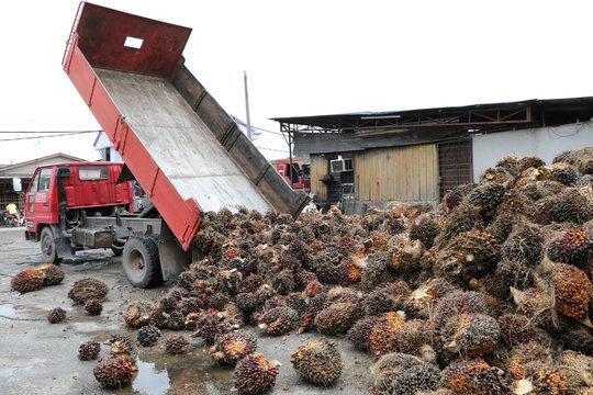 A truck unloads palm oil fruit bunches at a factory in Tanjung Karang