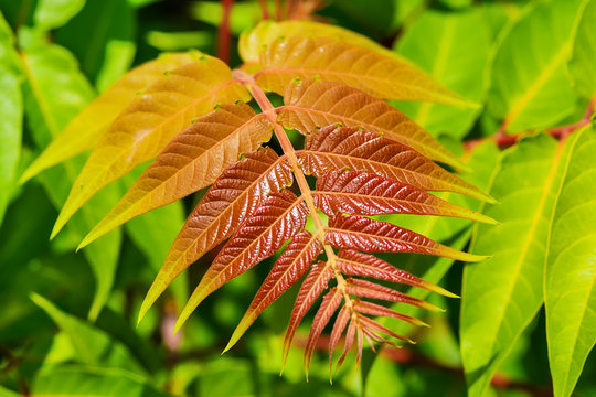 Young leaves of a plant. Ailanthus altissima, commonly known as tree of heaven is a deciduous tree in the family Simaroubaceae.