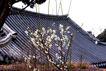 Wall Murals Roe Beautiful cherry blossom background tile roof.