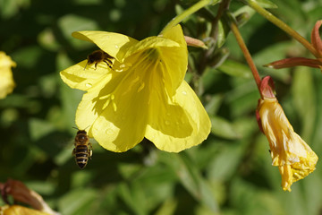 Open and closed yellow flowers of common evening-primrose (Oenothera biennis), evening primrose family (Onagraceae) in a Dutch garden. A flying western honey bee or European honey bee (Apis mellifera)