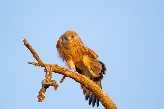 Lesser kestrel, Falco naumanni, Falcon on the branch pulling the leg.
