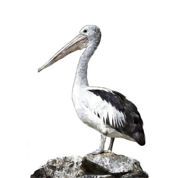 water color pelican on white background