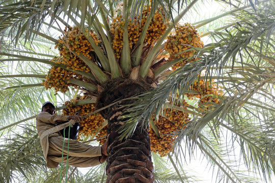 Worker collects dates from a palm tree during Unaizah Season for Dates, capital of Al-Qassim region