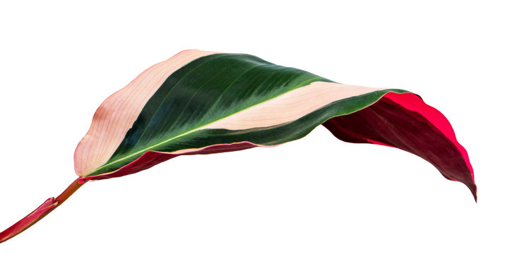 Stromanthe triostar leaf, Tropical foliage isolated on white background, with clipping path