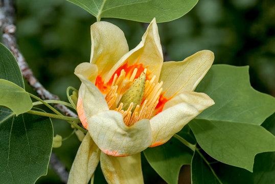 American Tulip Tree (Liriodendron tulipifera) in arboretum, Washington DC, USA