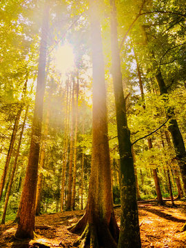 Sunrays penetrate the forest