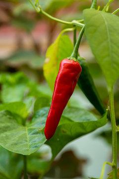 peperoncino verde e rosso