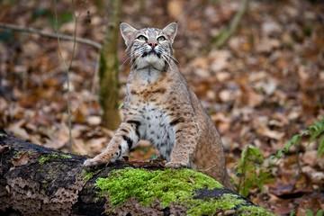 European Lynx, felis lynx