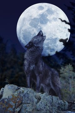 European Wolf, canis lupus, Adult Baying at the Moon