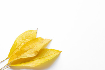 Autumn leaves, yellow, on a white background in the lower corner, place for text, background