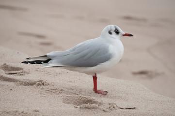 Mewa na piaszczystej bałtyckiej plaży