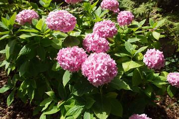 Hortensia (Hydrangea macrophylla). Family Hydrangeaceae. Flowering in the summer in a Dutch garden.