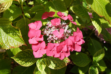 Hortensia (Hydrangea macrophylla 'Rotkehlchen'), Family Hydrangeaceae. Flowering in the summer in a Dutch garden.