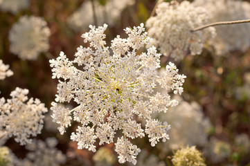 Queen Anne's Lace in meadow with closeup macro view