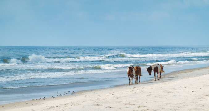 Ponies on the coast in Assateague state park