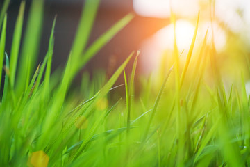 Canvas Prints Culture Blurred grass green background, close up pictures of leaves in a tropical garden, blurred green background, fresh green lawn with morning sun, lush green grass with morning sun