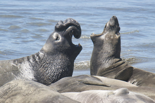 Elephant seals fighting for a spot on the beach