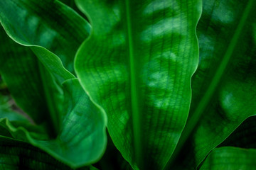 Wall Mural - closeup nature view of green leaf in garden, dark tone nature background, tropical leaf