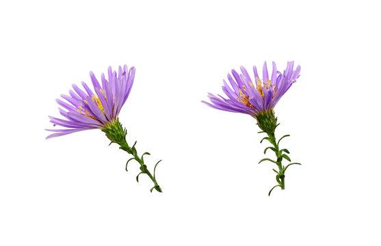 Set of purple aster flowers